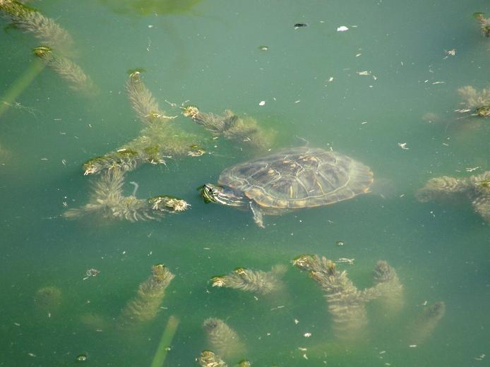 Черепашки в пруду
