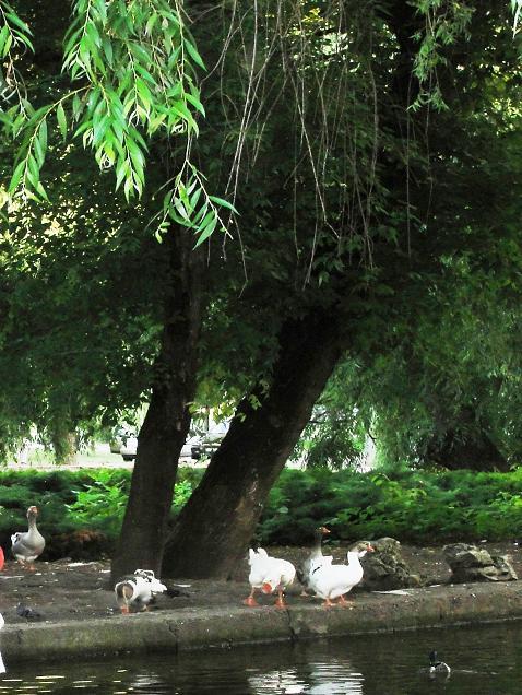 Гуси и утки в парке Краснодара